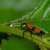 Rhodobaenus apicalis, Dryophthoridae, Curculionidae<br /> 9835, Paz de las Aves Reserve, Pichincha, Ecuador, 28 novembre 2015