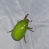 Platycoelia lutescens ,Chafer beetle, Anoplognathini, Rutelinae , Scarabaeidae<br /> 9216,  Bellevista Lodge, Mindo ,Pichincha, Ecuador, 25 novembre 2015
