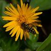 Allograpta sp. Syrphini, Syrphidae, Hoverfly<br /> 9327, Bellavista Cloud Forest, Pichincha, Ecuador, 26 novembre 2015