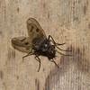 Diptera sp.<br /> 9093, Yanacocha Reserve, Quito ,Pichincha, Ecuador, 25 novembre 2015