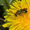 Apidae sp. Ecuador<br /> 9128, Yanacocha Reserve, Quito ,Pichincha, Ecuador, 25 novembre 2015