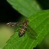 Syrphini sp. Syrphidae, Hoverfly<br /> 9913, Paz de las Aves Reserve, Pichincha, Ecuador, 28 novembre 2015