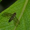 Syrphini sp. Syrphidae, Hoverfly<br /> 9332, Bellavista Cloud Forest, Pichincha, Ecuador, 26 novembre 2015