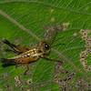 Hyalinacris sp. Grasshopper sp. Aspidophymini, Acrididae,  Orthoptera<br /> 9357, Bellavista Cloud Forest, Pichincha, Ecuador, 26 novembre 2015