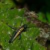 Booneacris sp.Grasshopper Ecuador,  Podismini, Melanoplinae, Acrididae, Caelifera<br /> 9851, Paz de las Aves Reserve, Pichincha, Ecuador, 28 novembre 2015