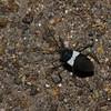 Miridae sp. Hemiptere<br /> 9819, Paz de las Aves Reserve, Pichincha, Ecuador, 28 novembre 2015
