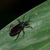 Assassin Bug sp. Reduviidae<br /> 9643, Mindo Cloud Forest, Pichincha, Ecuador, 27 novembre 2015