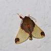 Hyponerita sp. Arctiinae , Erebidae<br /> 0361, San Isidro Lodge, Napo, Ecuador, 2 decembre 2015
