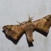 Quentalia sp. male,  Bombycinae, Bombycidae<br /> 0351, San Isidro Lodge, Napo, Ecuador, 1 decembre 2015