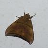 Ophisma tropicalis, Noctuidae<br /> 0395, San Isidro Lodge, Napo, Ecuador, 2 decembre 2015