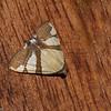 Arctiinae sp.  Erebidae<br /> 0332, San Isidro Lodge, Napo, Ecuador, 1 decembre 2015
