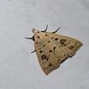 Herminodes sp. Noctuidae<br /> 0107, San Isidro Lodge, Napo, Ecuador, 30 novembre 2015