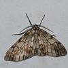Ctenuchinae, Tiger moth<br /> 0187, San Isidro Lodge, Napo, Ecuador, 30 novembre 2015