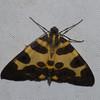 Pantherodes conglomerata, Blotched Leopard Moth, Ennominae, Geometridae<br /> 0290, San Isidro Lodge, Napo, Ecuador, 1 decembre 2015