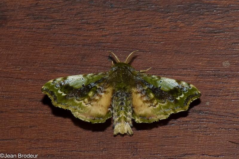 Quentalia sp. American Silkworm Moth, Bombycinae, Bombycidae<br /> 0165, San Isidro Lodge, Napo, Ecuador, 30 novembre 2015