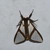 Turuptiana obliqua, Tiger moth, Arctiinae, Erebidae<br /> 0278, San Isidro Lodge, Napo, Ecuador, 1 decembre 2015