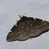 Paradirphia andicola, Hemileucinae, Saturnidae<br /> 9252,  Bellevista Lodge, Mindo ,Pichincha, Ecuador, 25 novembre 2015