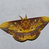 Eacles ormondei niepelti, Saturniid Moth, Ceratocampinae, Saturniidae<br /> 0225, San Isidro Lodge, Napo, Ecuador, 1 decembre 2015