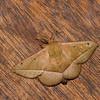 Druentica sp.male,  Mimallonidae<br /> 0365, San Isidro Lodge, Napo, Ecuador, 2 decembre 2015
