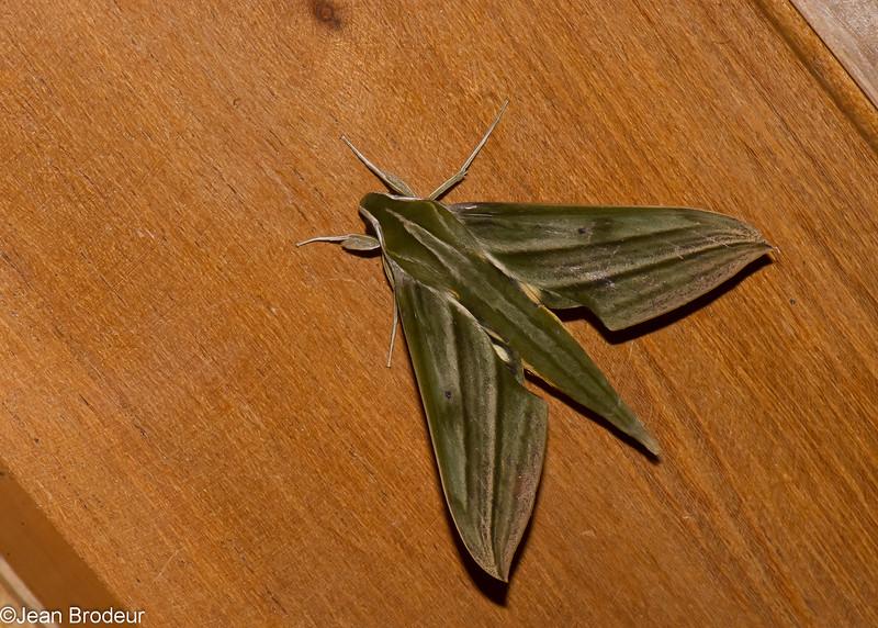 Xylophanes kiefferi, Macroglossinae, Sphingidae<br /> 0147, San Isidro Lodge, Napo, Ecuador, 30 novembre 2015
