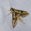 Xylophanes docilis, Hawk moth, Macroglossinae, Sphingidae<br /> 9245,  Bellevista Lodge, Mindo ,Pichincha, Ecuador, 25 novembre 2015