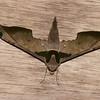 Adhemarius ypsilon, Hawk moth, Smerinthinae, Sphingidae<br /> 9777, Sachatamia lodge, Mindo, Pichincha, Ecuador, 27 novembre 2015