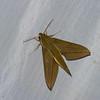 Xylophanes loelia, Macroglossinae, Sphingidae<br /> 9220,  Bellevista Lodge, Mindo ,Pichincha, Ecuador, 25 novembre 2015