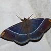Hemeroblemma laguerrei, Thermesiini, Erebinae, Erebidae<br /> 0377, San Isidro Lodge, Napo, Ecuador, 2 decembre 2015