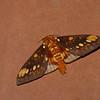 Citheronia  bellavista, Saturniid moth, Ceratocampinae, Saturniidae<br /> 9808, Sachatamia lodge, Mindo, Pichincha, Ecuador, 27 novembre 2015