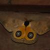 Automeris amanda male, Black-mantled Goldeneye, Hemileucinae, Saturniidae<br /> 0249, San Isidro Lodge, Napo, Ecuador, 1 decembre 2015