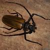 Titanus giganteus, Prionini, Prioninae, Cerambycidae<br /> 0119, Gite Moutouchi, Saint-Laurent du Maroni, Guyane francaise, 3 fevrier 2017