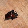 Oxysternon festivum festivum male, Phanaeini, Scarabaeidae<br /> 8915, Gite Moutouchi, Saint-Laurent du Maroni, Guyane francaise, 30 janvier 2017