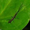 Teramocerus punctirostris, Straight-snouted Weevils Acratini, Brentidae<br /> 0866, Gite Moutouchi, Saint-Laurent du Maroni, Guyane francaise, 8 fevrier 2017