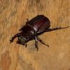 Coelosis biloba male, Oryctini, Dynastinae, Scarabaeidae<br /> 6242, Gite Moutouchi, Saint-Laurent du Maroni, Guyane francaise, 19 janvier 2017