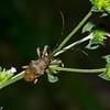 Oncideres sp. Onciderini, Lamiinae, Cerambycidae<br /> 7323, Gite Moutouchi, Saint-Laurent du Maroni, Guyane francaise, 22 janvier 2017