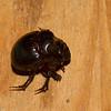 Oxyternon sp . Scarabaeinae, Scarabaeidae<br /> 6022, Gite Moutouchi, Saint-Laurent du Maroni, Guyane francaise, 19 janvier 2017