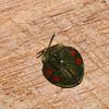 Discomorpha variegata, Omocerini, Cassidinae, Chrysomelidae<br /> 8922, Gite Moutouchi, Saint-Laurent du Maroni, Guyane francaise, 30 janvier 2017