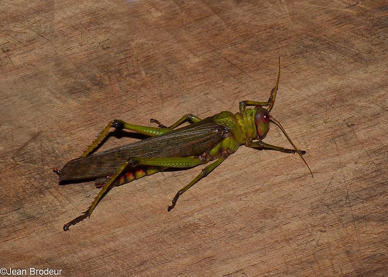 Tropidacris collaris, Lubber grasshopper, Romaleini, Romaleidae<br /> 9740, Gite Moutouchi, Saint-Laurent du Maroni, Guyane francaise, 2 fevrier 2017