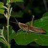 Schistocerca pallens, Cyrtacanthacridini ,Acrididae<br /> 8654, Gite Moutouchi, Saint-Laurent du Maroni, Guyane francaise, 29 janvier 2017