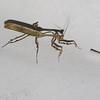 Zoolea sp. Praying Mantis, Vatinae, Mantidae<br /> 4876, Gite Moutouchi, Saint-Laurent du Maroni, Guyane francaise, 16 janvier 2017