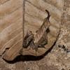 Dead Leaf Mantis, Metilia sp. Acanthopinae, Acanthopidae<br /> 6540, Gite Moutouchi, Saint-Laurent du Maroni, Guyane francaise, 20 janvier 2017