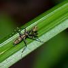 Liturgusa sp. Bark Mantis, Liturgusini, Liturgusidae<br /> 7462, Gite Moutouchi, Saint-Laurent du Maroni, Guyane francaise, 23 janvier 2017