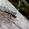 Liturgusa sp. Bark Mantis, Liturgusini, Liturgusidae<br /> 4538, Gite Moutouchi, Saint-Laurent du Maroni, Guyane francaise, 16 janvier 2017