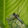 Erythrodiplax sp. Sympetrinae, Libellulidae<br /> 0473, Gite Moutouchi, Saint-Laurent du Maroni, Guyane francaise, 5 fevrier 2017