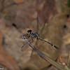 Libellulidae sp. <br /> 1588, Gite Moutouchi, Saint-Laurent du Maroni, Guyane francaise, 12 fevrier 2017