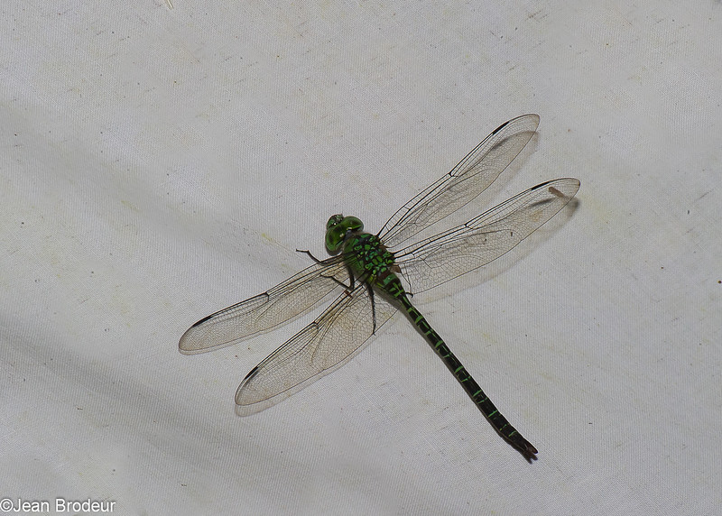 Coryphaeschna viriditas, Aeshninae, Aeshnidae<br /> 6773, Gite Moutouchi, Saint-Laurent du Maroni, Guyane francaise, 20 janvier 2017
