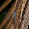 Uracis imbuta femelle, Brachydiplacinae, Libellulidae<br /> 4539, Gite Moutouchi, Saint-Laurent du Maroni, Guyane francaise, 16 janvier 2017