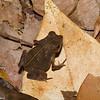 Rhinella sp. Atelopodinae,  Bufonidae, Anura<br /> 1591, Gite Moutouchi, Saint-Laurent du Maroni, Guyane francaise, 12 fevrier 2017