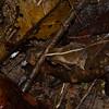 Rhinella castaneotica, Crapaud feuille, Atelopodinae,  Bufonidae<br /> 8321, Gite Moutouchi, Saint-Laurent du Maroni, Guyane francaise, 27 janvier 2017