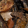 Rhinella group margaritifer sp. Bufonidae, Anura<br /> 6955, Gite Moutouchi, Saint-Laurent du Maroni, Guyane francaise, 21 janvier 2017